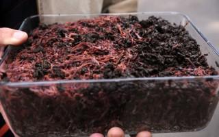 Разведение червей как бизнес в домашних условиях