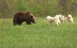 Притравка и охота на медведя с лайкой