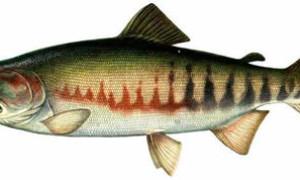 Рыба кета где водится
