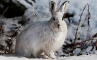 Зимняя охота на зайца с подхода