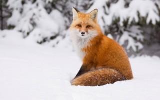 Охота с манком на лису секреты удачной охоты